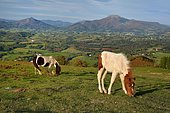 Pottoks in piebald dress on the summer pastures of Ainhoa: in the distance the mountain of the Rhune, Basque Country, France
