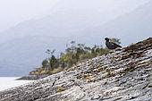 Kelp Goose (Chloephaga hybrida) in the Pie XI fjord in Chilean Patagonia.