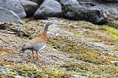 Ashy-headed Goose (Chloephaga poliocephala) in the Pie XI fjord in Chilean Patagonia.