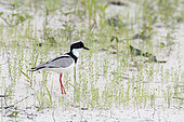 Pied Lapwing (Vanellus cayanus) on the sandy slopes of Lake Carara-Açu not far from Parintins, Brazilian Amazonia