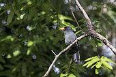 Black Nunbird (Monasa atra) in a tree of the lowland rainforest in Rio Balaio near Parintins, Brazilian Amazon.