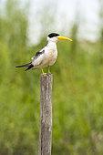 Large-billed Tern (Phaetusa simplex) on a pole in Rio Balaio, not far from Parintins, Brazilian Amazonia