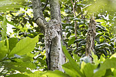 Great Potoo (Nyctibius grandis) placed on a tree trunk to mimic a broken tree branch on the banks of the Canal do Jari near Santarem, Brazilian Amazon.