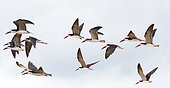 Black Skimmer (Rynchops niger) in flight in Santarem, Brazilian Amazon.