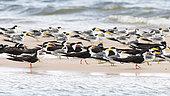 Black Skimmer (Rynchops niger) group posed on a white sandy beach bordering the Rio Tapajos in Santarem, Brazilian Amazon.