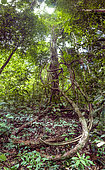 Tree, liana and undergrowth of the Mirande trail in the Grand Matoury National Nature Reserve, French Guiana