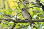 Hauxwell's Thrush (Turdus hauxwelli) resting in a tree on the Salvation Islands, French Guiana