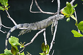 Young green Iguana (Iguana iguana) resting on branches overlooking a stream in Fort-de-France, Martinique