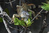 Green Iguana (Iguana iguana) adult eating the leaves, inflorescence and seeds of a tree in Fort-de-France, Martinique