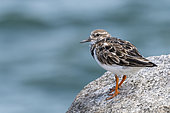 Ruddy Turnstone (Arenaria interpres) adult in inter-bridal plumage on a rock near the sea in the Salvation Islands, French Guiana