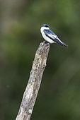 White-winged Swallow (Tachycineta albiventer) on a post in Araraiana not far from Belem, Brazilian Amazonia