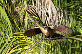 Crested Hoazin (Opisthocomus hoazin) in the vegetation bordering a small river in Araraiana near Belem, Brazilian Amazonia