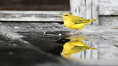 Reflection in a small puddle of adult male of Orange-fronted yellow finch (Sicalis columbiana goeldii) drinking on the steps of a house in Rio Guajara in the Brazilian Amazon.