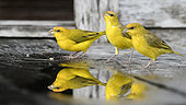 Reflection in a small puddle of adult males of Orange-fronted yellow finch (Sicalis columbiana goeldii) drinking on the steps of a house in Rio Guajara in the Brazilian Amazon.