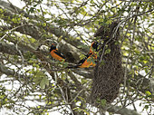Couple of orange-backed Troupial (Icterus croconotus) near their nest in Rio Guajara, Brazilian Amazonia