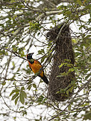 Orange-backed Troupial (Icterus croconotus) near its nest in Rio Guajara, Brazilian Amazonia
