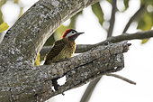 Spot-breasted Woodpecker (Colaptes punctigula) male on a tree in Vira Sebo, Brazilian Amazonia