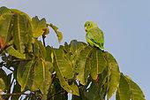 Green-rumped Parrotlet (Forpus passerinus) on a bush in the Canal do Jari near Santarem, Brazilian Amazon