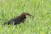 Rufescent Tiger-Heron (Tigrisoma lineatum) having captured a frog in a wetland in Boca dos Botos not far from Manaus, Brazilian Amazon.