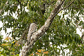 Great Potoo (Nyctibius grandis) placed on a tree trunk to mimic a broken tree branch in wetland in Boca dos Botos not far from Manaus, Brazilian Amazon.
