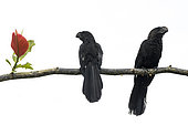 Smooth-billed Ani (Crotophaga ani) pair resting on the branch of a red-leaved tree in Boca dos Botos, Brazilian Amazonia