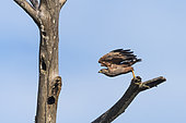 Savanna Hawk (Buteogallus meridionalis) flying in Rio Balaio not far from Parintins, Brazilian Amazonia
