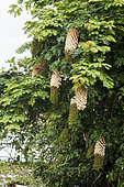 Inflorescences of the Entada shrub (Entada polyphylla) in Rio Guajara, Brazilian Amazonia