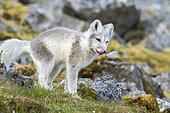 Renard polaire (Vulpes lagopus) jeune se lêchant les babines dans la toundra, Bellsund,Spitzberg