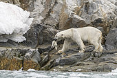 Polar bear (Ursus maritimus) female on rock with a seal in the mouth, Raudfjord, Spitsbergen