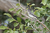 Asian brown flycatcher (Muscicapa dauurica) in the tree of an oasis in the Mongolian steppe, Mandakh, Dornogovi, Mongolia