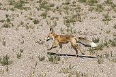 Red fox (probably subspecies tschiliensis) running in the Galba Gobi Desert, Mongolia