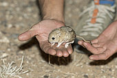 Kozlov's pygmy jerboa (Salpingotus kozlovi) adult hand held at night in the Galba Gobi Desert, Khanbogd, Mongolia