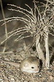 Thick-tailed pygmy jerboa (Salpingotus crassicauda) adult at night in the Galba Gobi Desert, Khanbogd, Mongolia