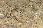 Midday jird (Meriones meridianus) at night in the Galba Gobi Desert, Mongolia
