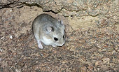 Desert Hamster (Phodopus roborovskii) at night in the Galba Gobi Desert, Ulgii Hiit, Mongolia