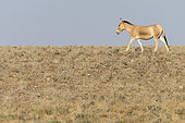 Asian wild ass (Equus hemionus) in a semi-arid steppe landscape of the Galba Gobi Desert, Ulgii Hiit, Mongolia