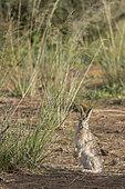 Tolai Hare (Lepus tolai) eating grasses in an oasis in the Galba Gobi Desert, Ulgii Hiit, Mongolia