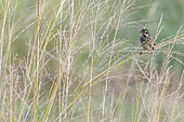 Reed Bunting (Emberiza schoeniclus) on grasses in an oasis in the Galba Gobi Desert, Ulgii Hiit, Mongolia