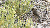 Dusky warbler (Phylloscopus fuscatus) on a migratory stopover in the Galba Gobi Desert, Khanbogd, Mongolia
