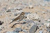 Little Bunting (Emberiza pusilla) on a migratory stopover in the Galba Gobi Desert, Khanbogd, Mongolia