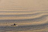 Toad-headed Agama (Phrynocephalus arabicus) on the sand to escape predators in the desert of Ras al Rways, Oman