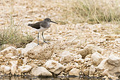 Green Sandpiper (Tringa ochropus) stopping over in a wadi, Oman