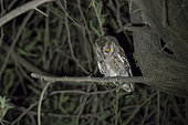 Arabian Scops Owl (Otus pamelae) adult in a tree, Dhofar Province, Oman