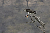 Osprey (Pandion haliaetus) with a fish between greenhouses on a dead tree in Dhofar province, Oman
