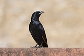 Tristam's Starling (Onychognathus tristramii) on a wall, Dhofar province, Oman
