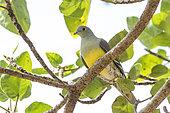 Bruce's Green Pigeon (Treron waalia) in a fig tree, Wadi Darbat, Dhofar province, Oman