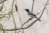 Arabian warbler (Sylvia leucomelaena) on a branch, Ayn Hamran, Dhofar province, Oman