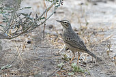 Long-billed Pipit (Anthus similis) on ground, Ayn Hamran, Dhofar province, Oman