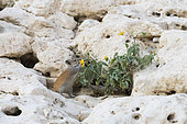 Golden Spiny Mouse (Acomys russatus) eating the yellow flower of a Malvaceae in Wadi Hashir, Dhofar province, Oman