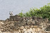 Arabian Partridge (Alectoris melanocephala) on a stone wall, Mughsayl, Dhofar province, Oman